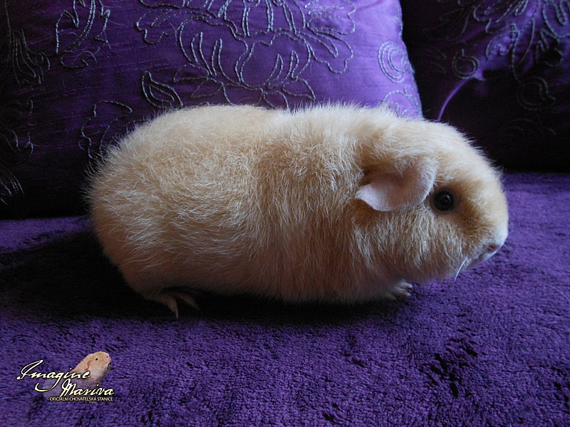 Honey Bee Cavia Secret